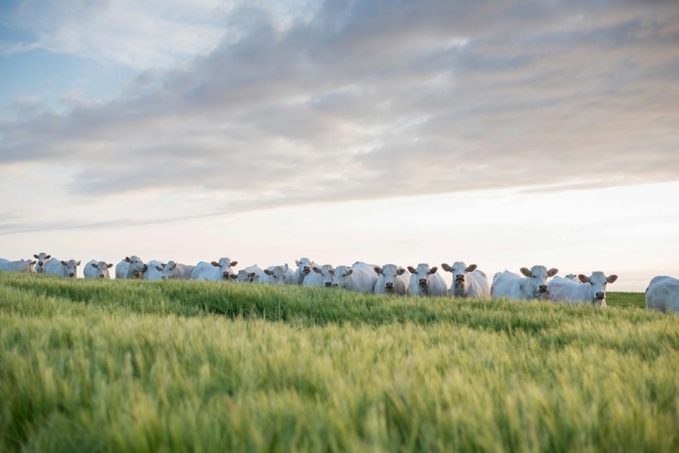 wedding-cows-calais-curious